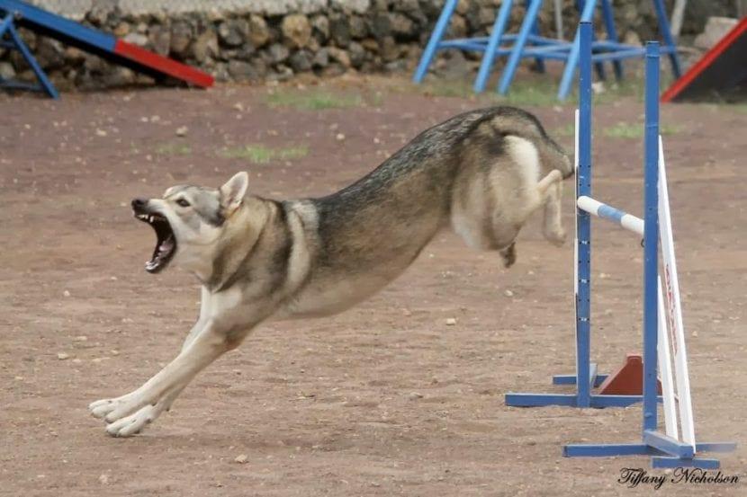 Perro lobo herreño practicando agility