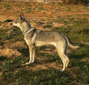 Perro lobo herreño en el campo