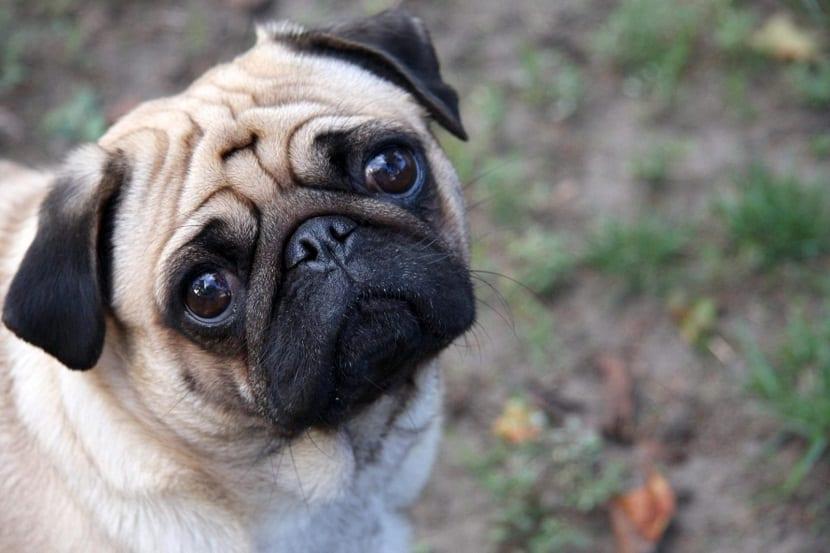 ¿el perro siente culpa?
