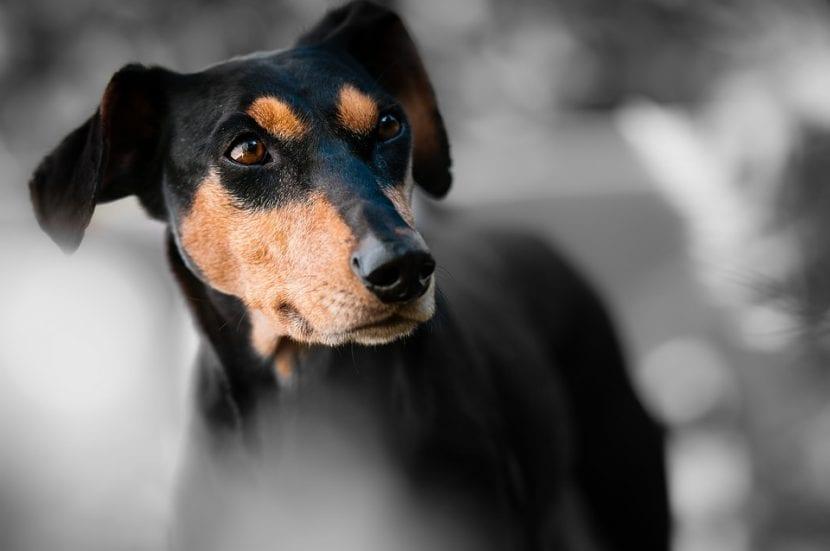 Perro de la raza Pinscher