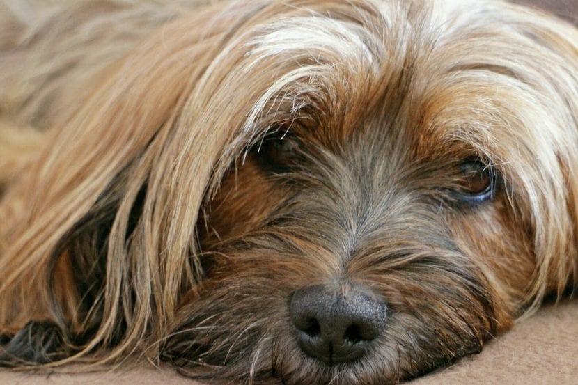 Perro Terrier Tibetano tumbado en el suelo