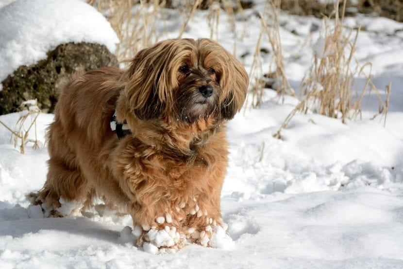 Perro Terrier Tibetano en la nieve