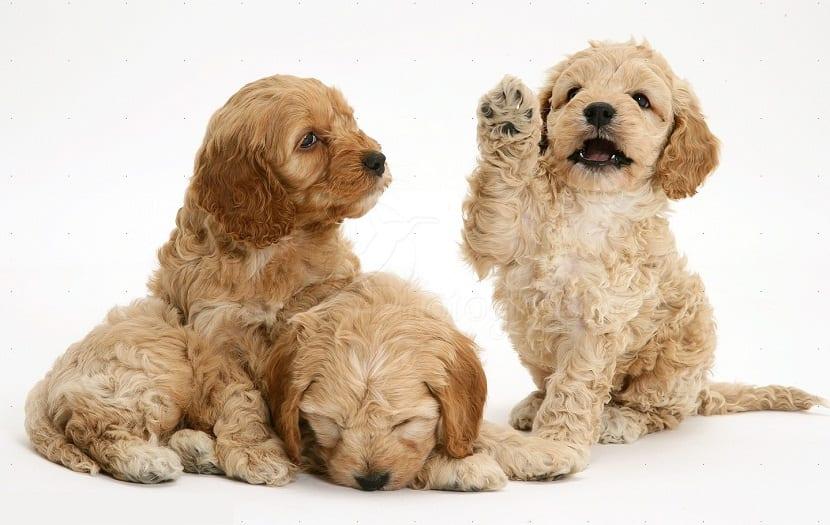 Origen de la raza de perros Cockapoo