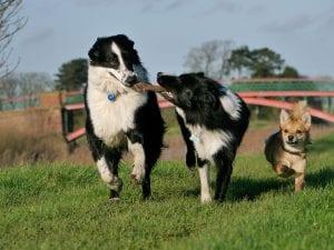 Perros jugando con un juguete