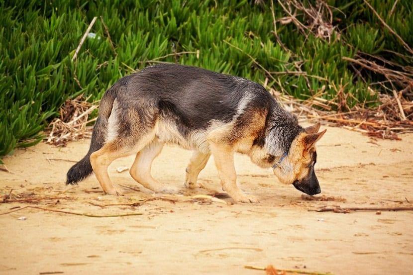Los perros pueden detectar los alimentos con gluten