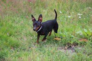 Perro de la raza Pinscher miniatura