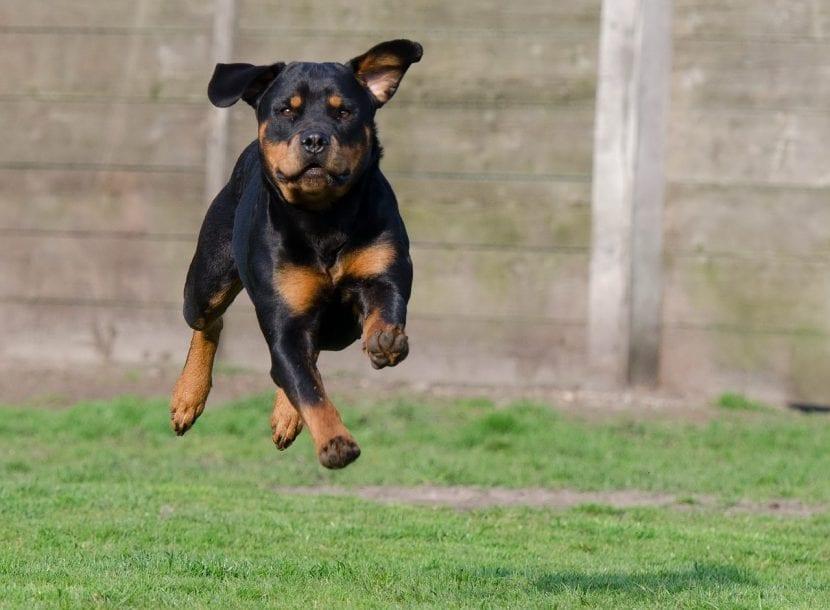 Perro Rotweiler corriendo