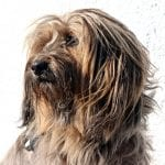 Terrier Tibetano adulto