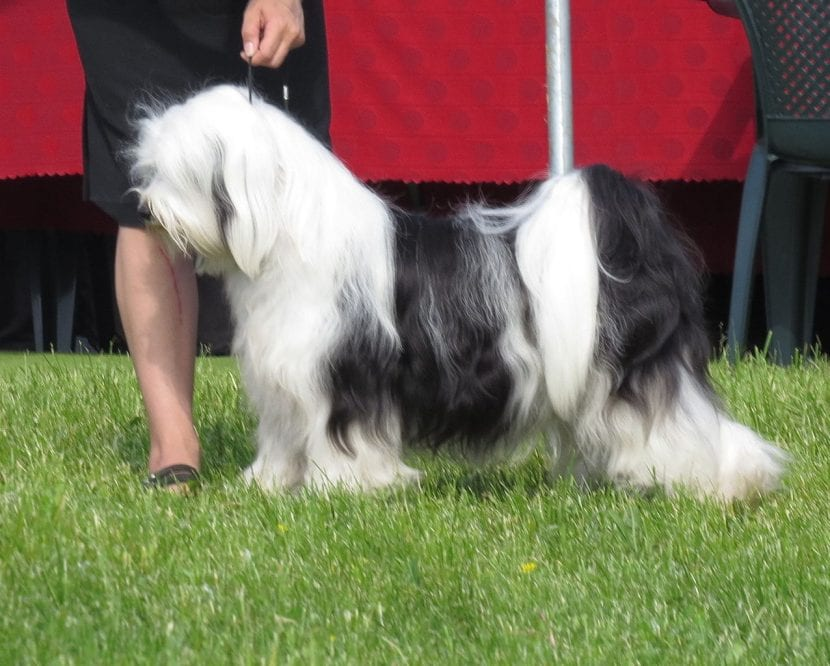 Terrier Tibetano en una exposición