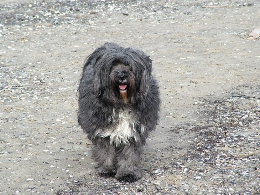 Terrier Tibetano en la playa