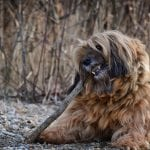 Terrier Tibetano jugando con un tronco seco