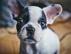 El Bulldog frances sufre esta enfermedad