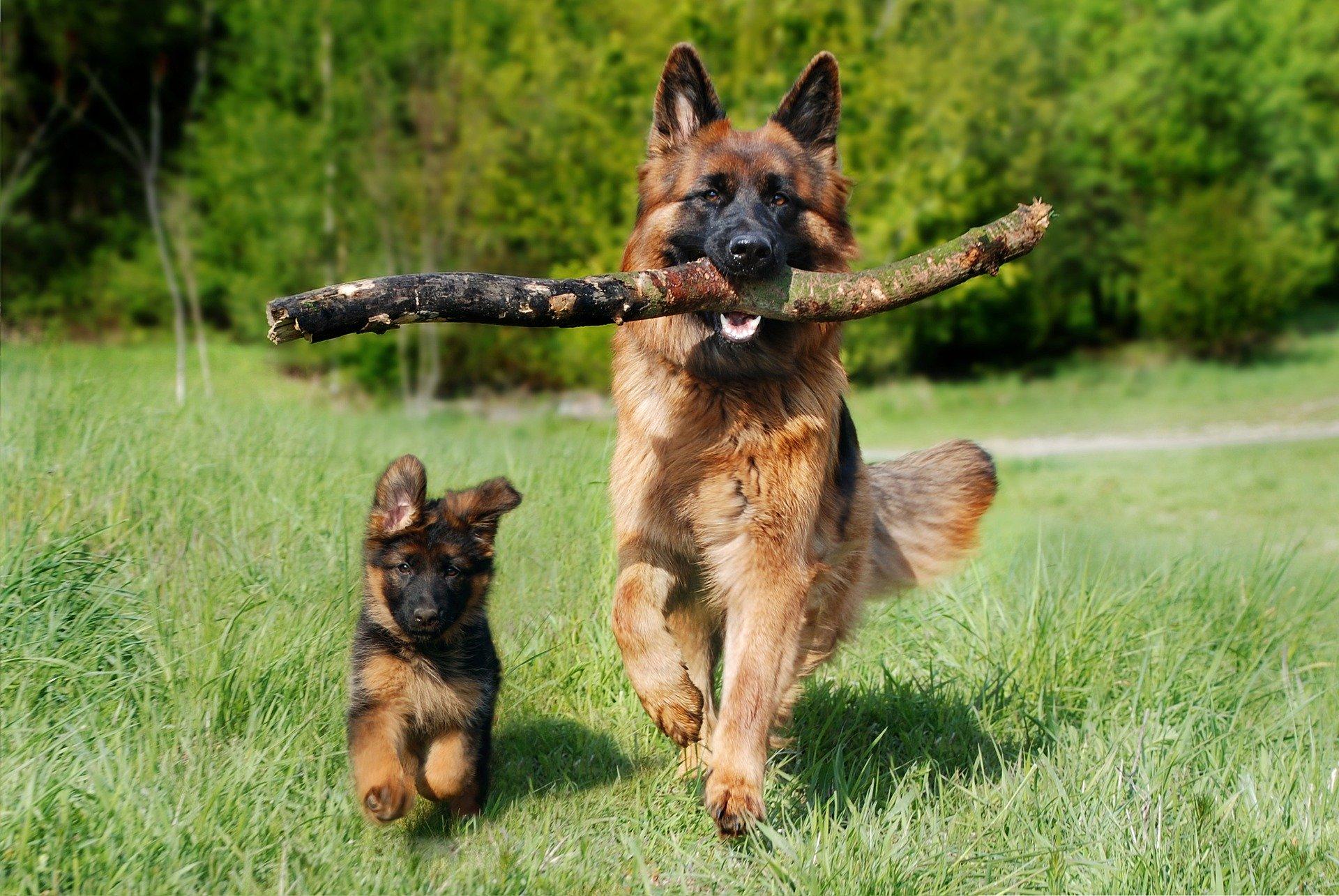 La castración en perras tiene inconvenientes