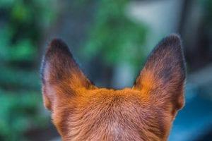 problema de acaros en orejas