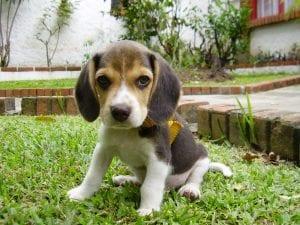 Cachorro de Beagle sobre el césped