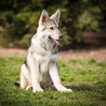 Cachorro de perro lobo de Saarloos
