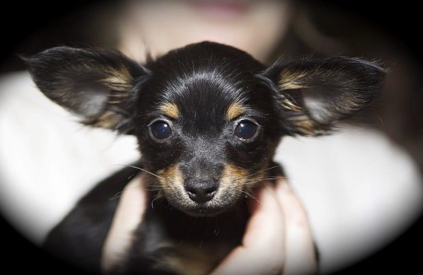 acaros en oidos de perros