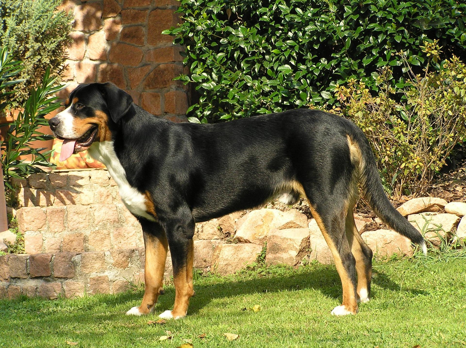 Las perras pueden tener incontinencia tras una castración
