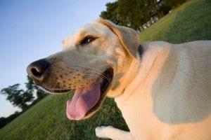 Perro de la raza labrador feliz