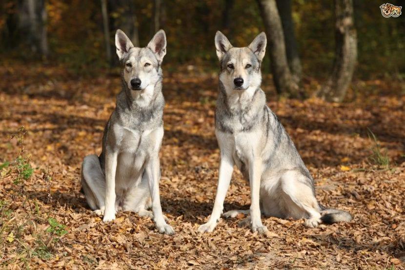 Perros lobo de Saarloos sentados
