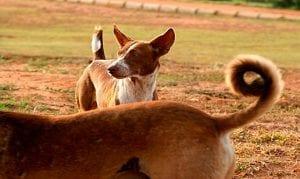 Significado del estado de la cola en los perros
