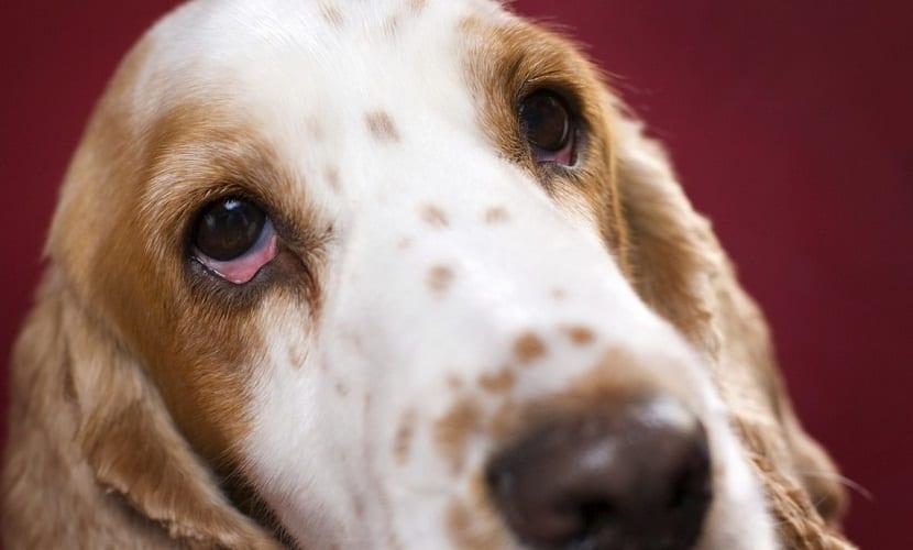 ulcera en ojos perros
