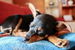 Recomendaciones para limpiar los oídos de tu perro
