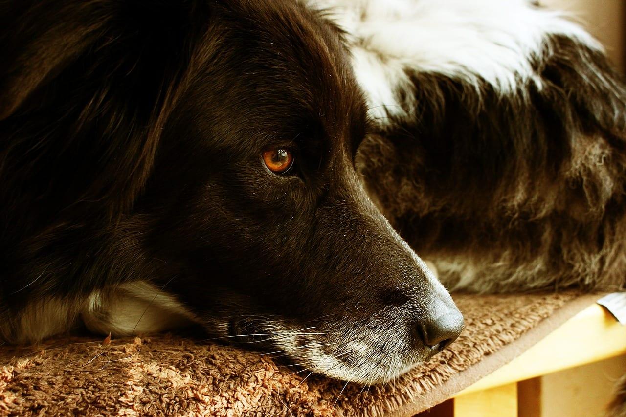 Perro adulto tumbado
