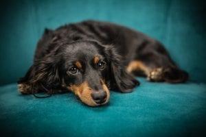 Perro adulto tumbado en el sofá