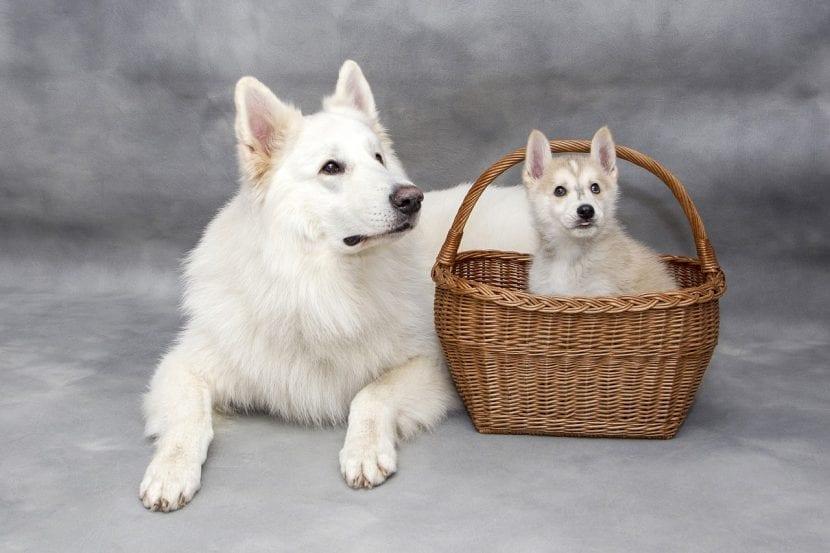 Perro adulto y cachorro en una cesta