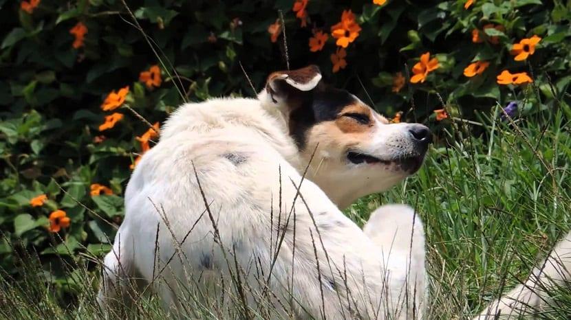 perro arrascandose por sarna