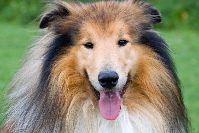 Perro adulto de la raza Collie