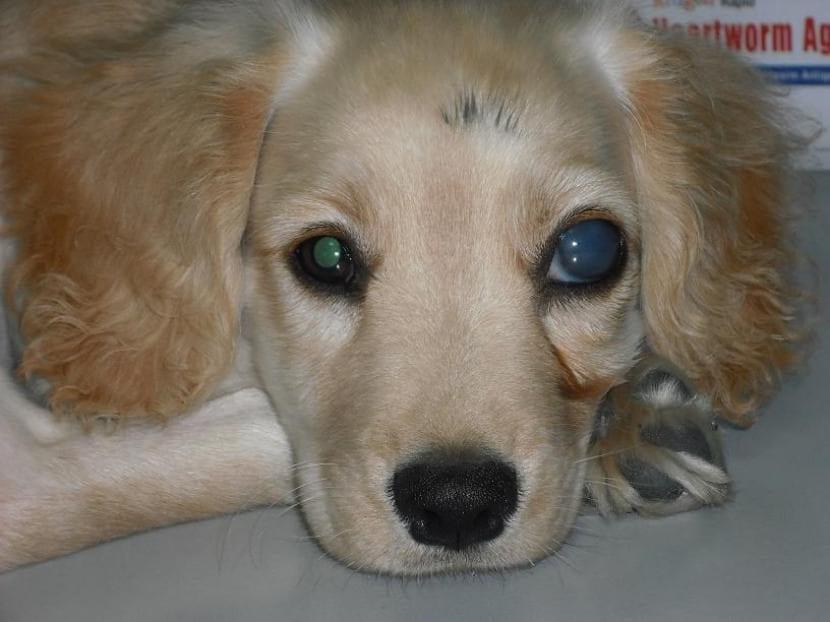 Perro con glaucoma