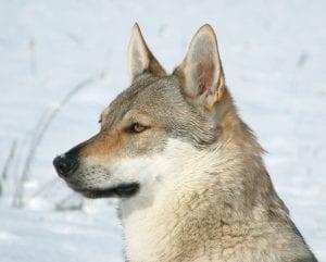 Perro lobo checoslovaco en la nieve