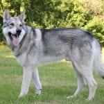 Perro lobo de Saarloos adulto