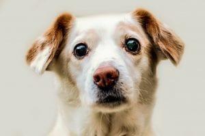 Perro adulto de color marrón