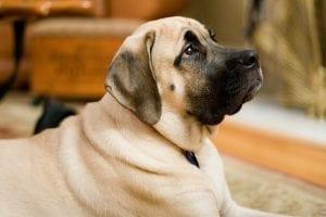 Perro de la raza Mastín inglés adulto
