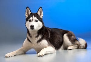 Perro de raza nórdica