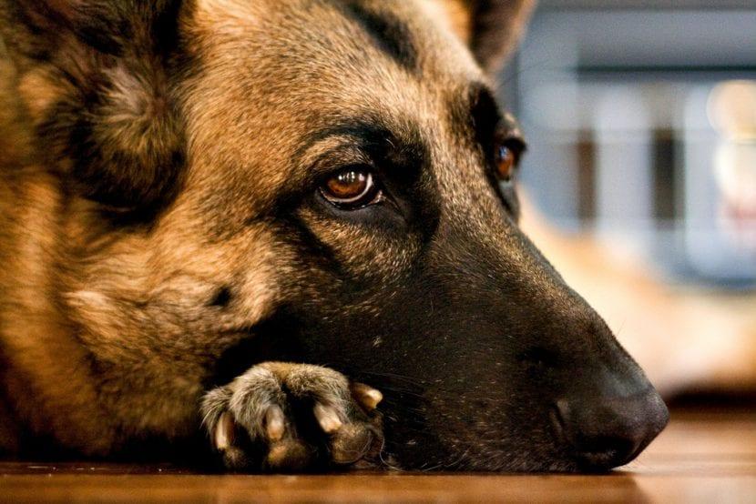 Perro pastor triste