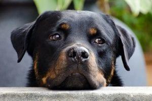 Perro rottweiler pensativo