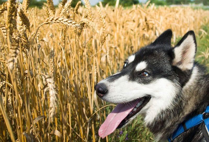 el peligro de las espigas en perros