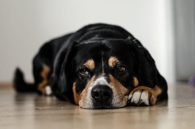 Perro triste tumbado en el suelo