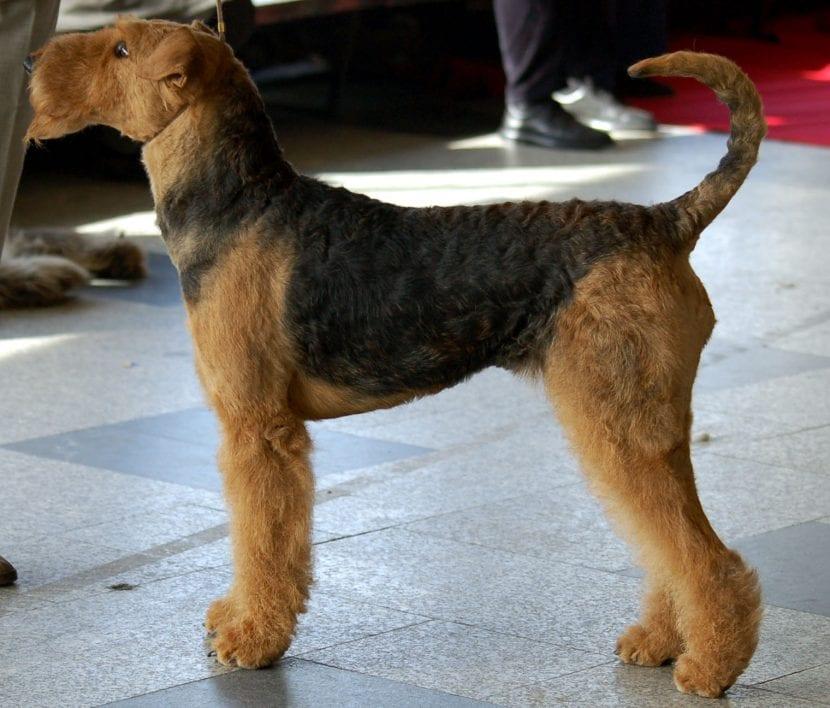Perro adulto de la raza Terrier airedale