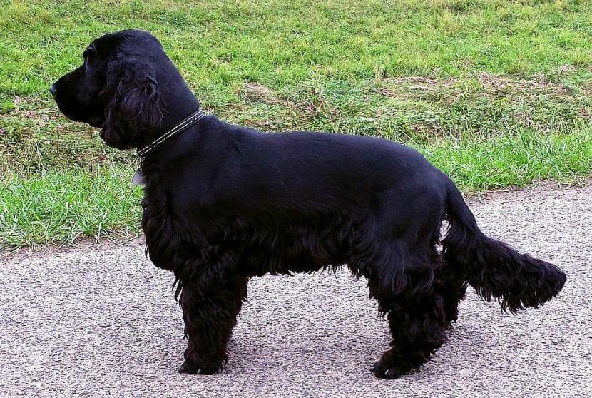 Perro adulto de la raza Cocker Spaniel inglés