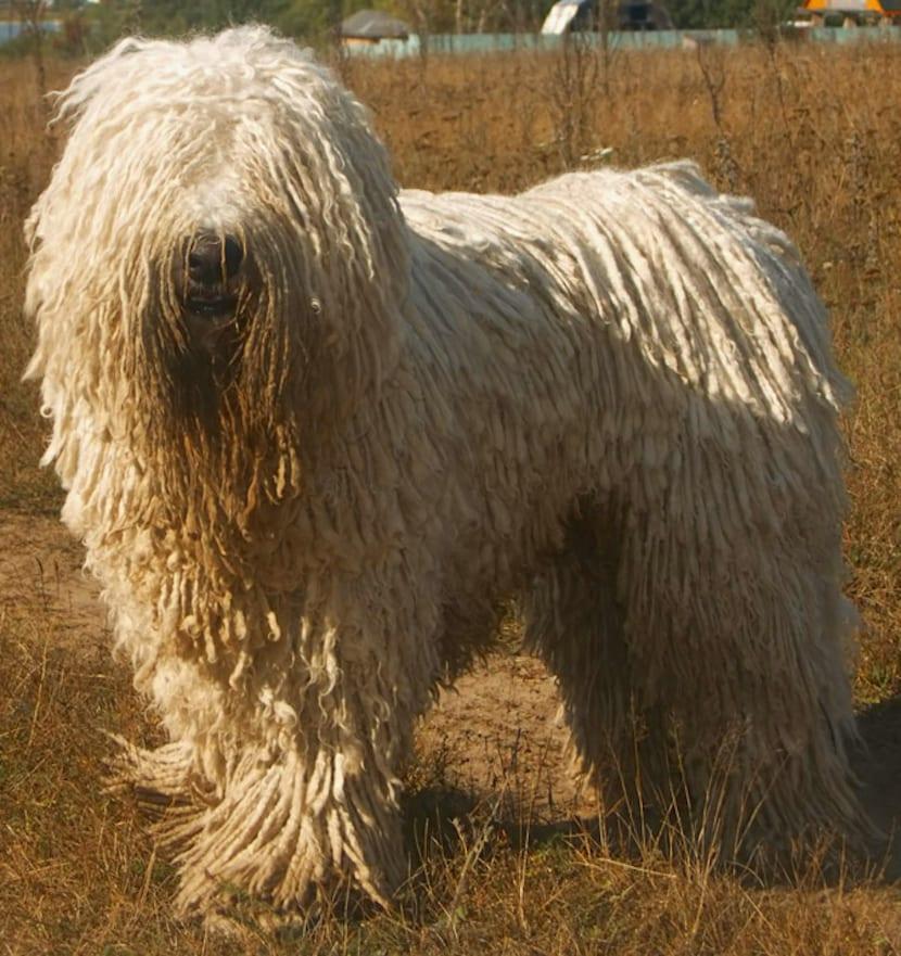 Komondor perro