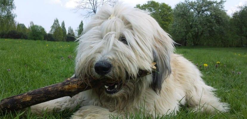 Perro pastor polaco de las llanuras.
