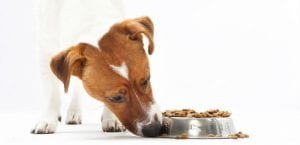Jack russell terrier comiendo pienso.
