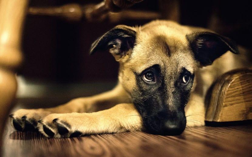 perro depresión