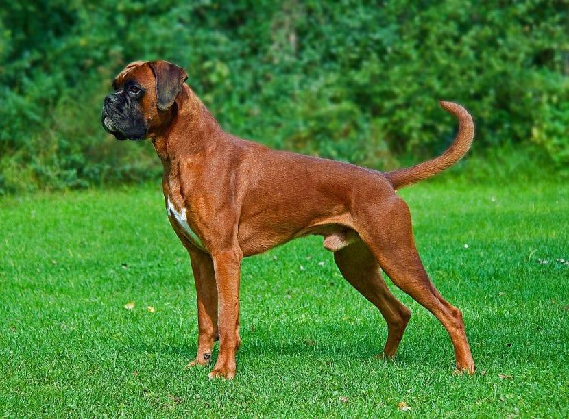 Perro adulto de la raza Bóxer