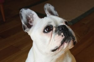 Perro de la raza Bulldog francés